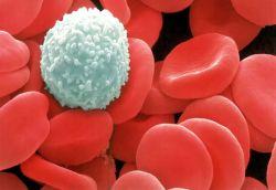 Еритроцити и левкоцит